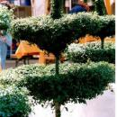 Cotoneaster-Etagere im Pflanzk�bel